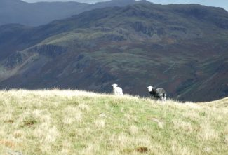 Herdwick Sheep Overlooking Hard Knott Pass